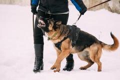 Entrenamiento del lobo criado en línea pura del Alsatian de Adult Dog Or del pastor alemán Fotos de archivo libres de regalías