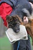 Entrenamiento del perrito de Dog del pastor alemán. Foto de archivo libre de regalías