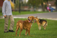 Entrenamiento del perro fotos de archivo libres de regalías