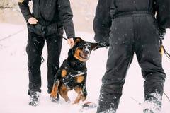 Entrenamiento del perro del adulto de Rottweiler Metzgerhund Ataque y defensa Fotos de archivo