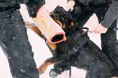 Entrenamiento del perro del adulto de Rottweiler Metzgerhund Ataque y defensa Imágenes de archivo libres de regalías