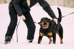 Entrenamiento del perro del adulto de Rottweiler Metzgerhund Ataque y defensa Foto de archivo