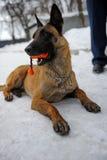 Entrenamiento del perro policía Imagen de archivo