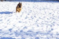 Entrenamientos del perro de pastor alemán en nieve foto de archivo libre de regalías