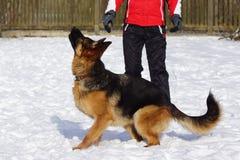 Entrenamientos del perro de pastor alemán en nieve fotografía de archivo