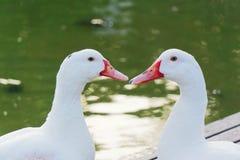 Entretien d'amour de deux canards Images stock