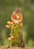 Entretien d'escargot d'écureuils Photographie stock