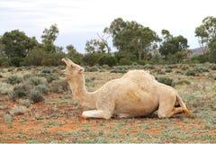 Entretien de chameau Photographie stock libre de droits