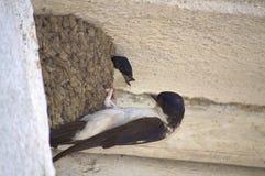 Entretiens de couples d'oiseaux Photo libre de droits