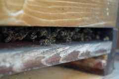 Entry of a beehive with a bunch of honeybees. Honeybees, on the entry of their hive, wonderful creatures, now a threatened species, manufacturing honey and being Stock Photography
