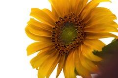 Entscheidende Sonnenblume 2 Stockbilder
