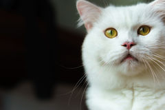 Entsetzte den Mund aufsperrende und anstarrende Katze Stockfotos