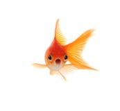 Entsetzter Goldfish getrennt auf weißem Hintergrund lizenzfreie stockfotos