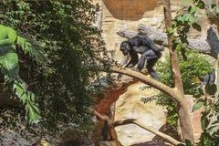 Entspannen Sie sich Gorilla Stockfotografie