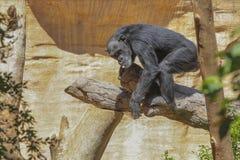 Entspannen Sie sich Gorilla Stockbilder