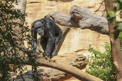 Entspannen Sie sich Gorilla Lizenzfreie Stockfotos