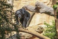 Entspannen Sie sich Gorilla Stockfoto