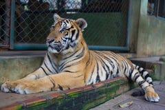 Entspannen Sie sich tropischen orange gestreiften Tiger in Tiger Temple Thailand Nor Lizenzfreie Stockfotos
