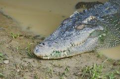 Entspannen Sie sich vom Sumpfkrokodil Sehr großes Krokodil lizenzfreie stockfotos
