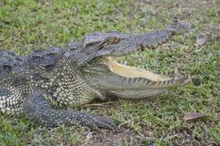 Entspannen Sie sich vom Sumpfkrokodil Sehr großes Krokodil stockbild