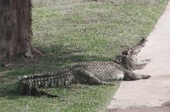 Entspannen Sie sich vom Sumpfkrokodil Sehr großes Krokodil lizenzfreies stockbild