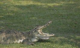 Entspannen Sie sich vom Sumpfkrokodil Sehr großes Krokodil lizenzfreie stockbilder