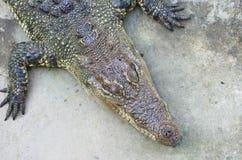 Entspannen Sie sich vom Sumpfkrokodil Sehr großes Krokodil stockfotos
