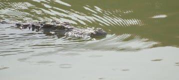 Entspannen Sie sich vom Sumpfkrokodil Sehr großes Krokodil lizenzfreies stockfoto