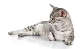 Entspannende ägyptische Mau Katze Stockbild