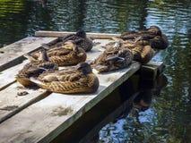 Entspannende Enten Stockbilder