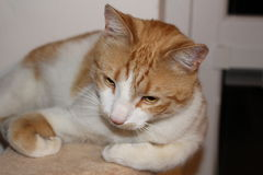 Entspannende Katze Lizenzfreies Stockbild