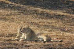 Entspannende Löwin zwei Stockbilder
