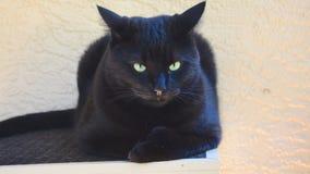 Entspannende Polydactyl Katze Lizenzfreies Stockfoto
