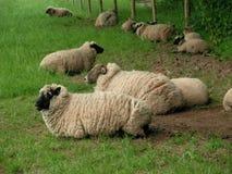 Entspannende Schafe stockbilder