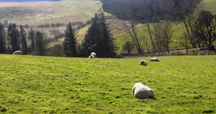 Entspannende Schafe, Northumberland Großbritannien Stockfoto