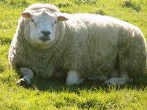 Entspannende Schafe, Northumberland Großbritannien Stockfotos