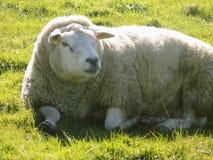 Entspannende Schafe, Northumberland Großbritannien Lizenzfreie Stockfotos