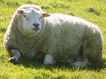 Entspannende Schafe, Northumberland Großbritannien Stockbilder