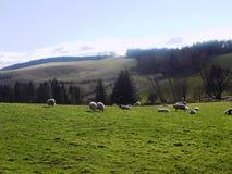 Entspannende Schafe, Northumberland Großbritannien Lizenzfreie Stockbilder