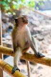 Entspannender Affe auf dem Zaunstillstehen Stockbild