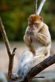 Entspannender Barbary-Affe Stockbilder