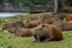 Entspannender Capybara Stockfotografie