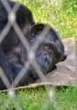 Entspannender Gorilla stockbilder
