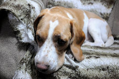 Entspannender Hund lizenzfreies stockbild