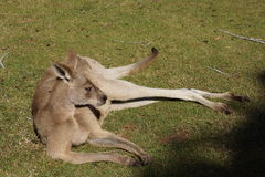 Entspannender Känguru stockbild