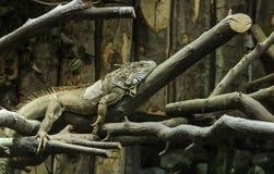 Entspannender Leguan Stockbild