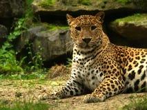 Entspannender Leopard Stockfotos