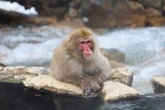 Entspannender Makaken Lizenzfreie Stockfotografie