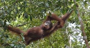 Entspannender Orang-Utan in den Baumasten Bornean-Orang-Utan (Pongo pygmaeus wurmmbii) in der wilden Natur Lizenzfreie Stockfotografie