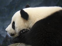 Entspannender Panda Stockfotografie
